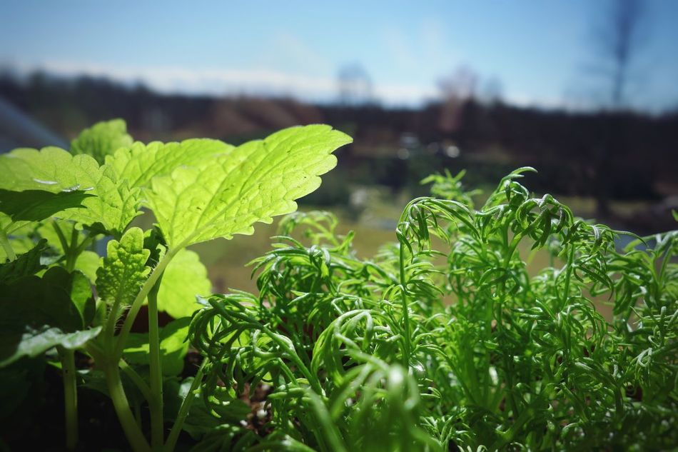 Can't wait to harvest my lemonbalm and chamomile for tea :) Leaf Herbs Rx100 Plant Green Color Nature Close-up Focus On Foreground No People Freshness Day Beauty In Nature Outdoors Agriculture Fragility