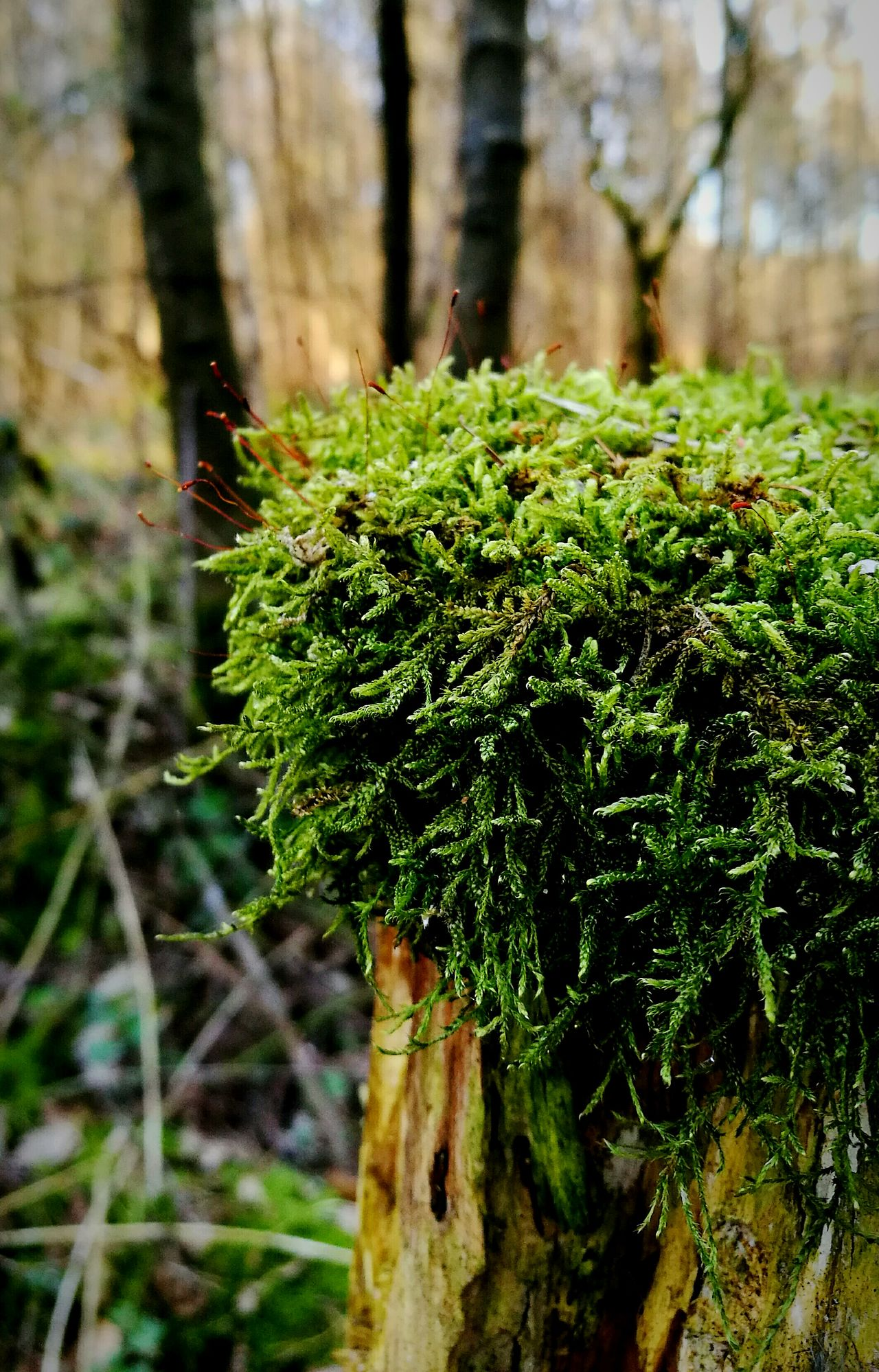 Green Color Nature Growth Focus On Foreground Tree Beauty In Nature Plant Close-up Outdoors Nature Photography Plant Fragility Moss Moss-covered Moss Covered Tree Huawei P9 Leica HuaweiP9Photography Huaweiphotography HuaweiP9