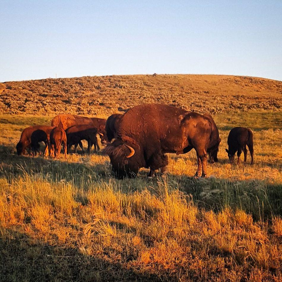 Beautiful stock photos of buffalo,  Animal Behavior,  Animal Family,  Animal Themes,  Animals In The Wild