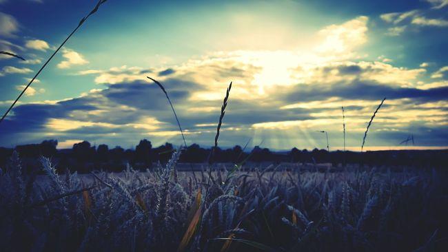 cornfield Corn Cornfield Sun Sunrays Sunrays_penetrating_clouds Landscape Landscapes With WhiteWall Urban Urban Landscape Nature Nature Photography Nature On Your Doorstep Naturelovers EyeEm Best Shots EyeEm Nature Lover EyeEm Gallery EyeEm EyeEm Best Shots - Nature Sun Going Down Evening Light Evening Sky Capture The Moment