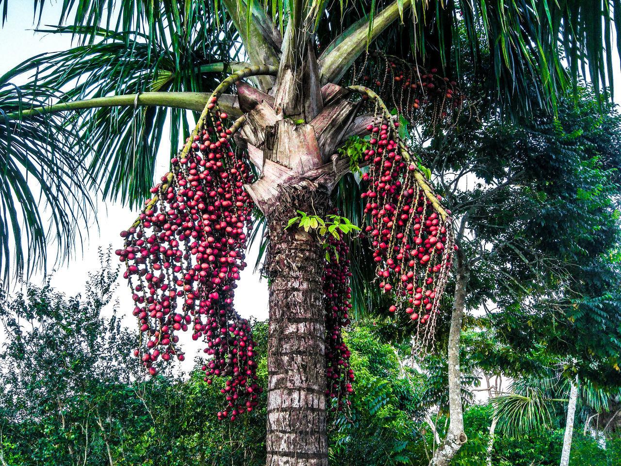 Fruta Amazonia Acre Rio Branco Brasil UFAC Natureza Brasil ♥