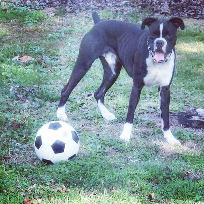 Ilovemyboxer Jackson Soccer Boxer Excellent_dogs Furkids Boxergram Loves_pets 7pets_1day Trb_pets Pets_of_our_world Pets_perfection Instagram_pets_animals Showcasing_pets Dog_features Boxerpuppy Boxers_of_instagram Igers_of_wv Wv_igers Gooutside Bestfriendever Ptk_pets W_o_o_f Animal_captures Bestfriends_dogs