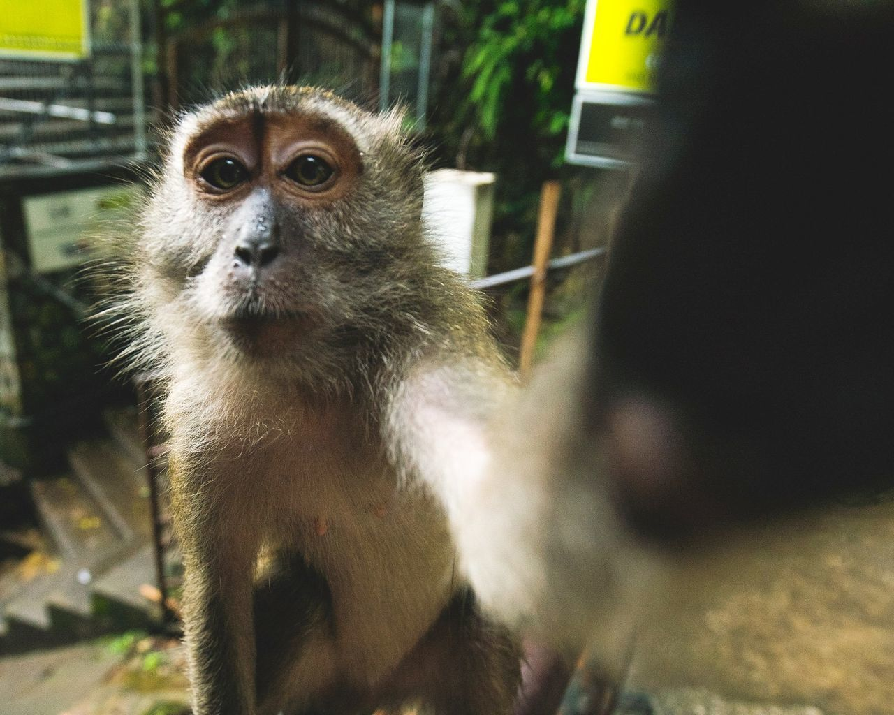 But First, Let Me Take A Selfie. Animal Themes Looking At Camera One Animal Portrait Animal Wildlife Monkey No People Day Animals In The Wild Outdoors Nature Kuala Lumpur