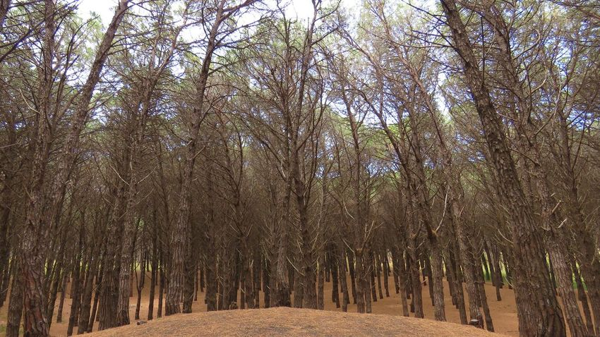Beauty In Nature Buenos Aires, Argentina  Day Forest Growth Landscape Nature Necochea. Argentina No People Outdoors Pine Woodland Tree WoodLand