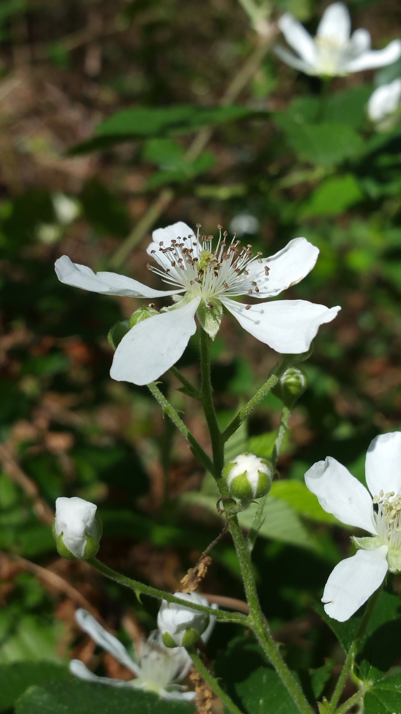 Nature Flower Fragility Close-up Growth Plant Outdoors Beauty In Nature No People Flower Head Freshness Day Naturelovers Naturephotography Popular Photos Photography Eyemphotos Eye Em Nature Lover My Photography Environment Colorful Black Berry Blossom Sunlight Lush Foliage White Color