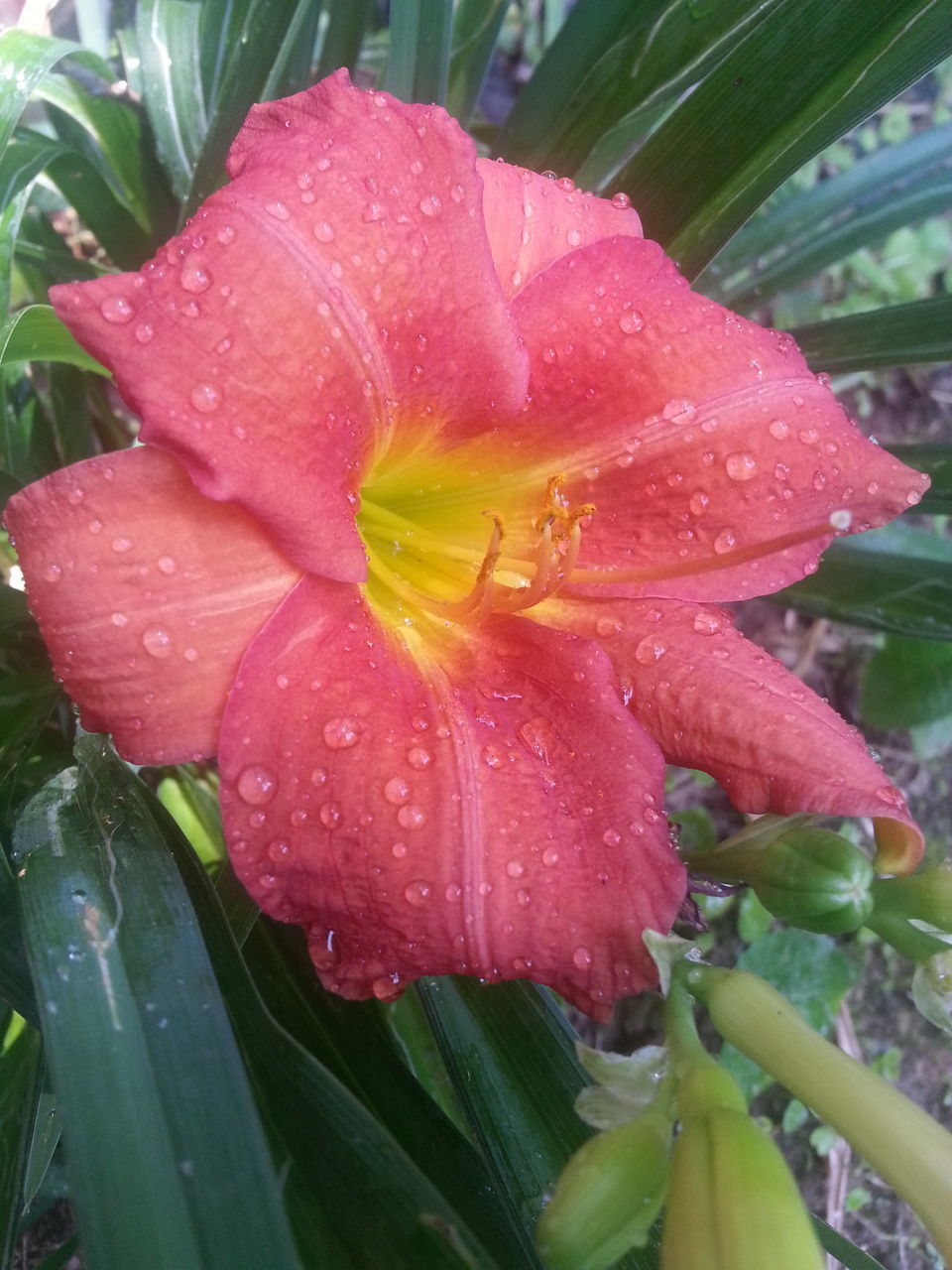 drop, water, wet, growth, flower, petal, flower head, fragility, freshness, raindrop, beauty in nature, nature, plant, leaf, close-up, no people, day, outdoors, day lily, blooming