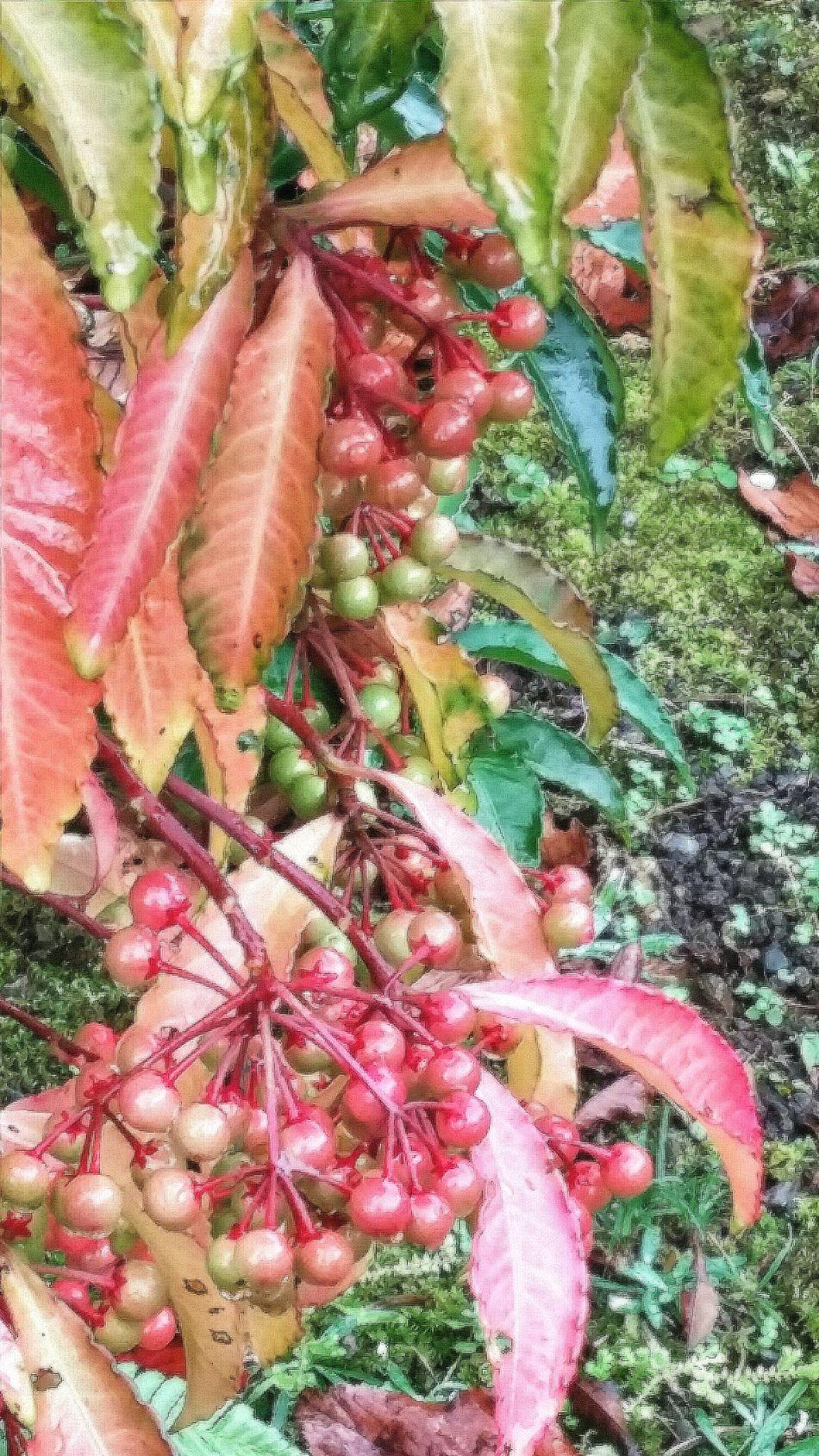 Berries Nature Nature_collection Nature Photography EyeEm Nature Lover Naturelover Autumn 2015 Tokyo Autumn 2015 Tokyo Nature Tokyo Japan Travelphotography Koishikawa Korakuen