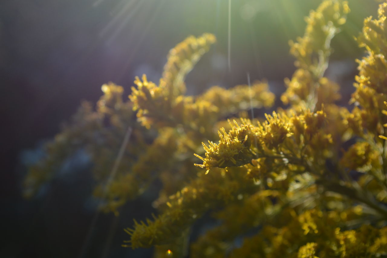 Beauty In Nature Close-up Day Detail Earth Environment Goldenrod Growth Light Nature No People Outdoors Planet Plant Rays Of Light Soft Sunlight Tranquility Yellow EyeEmNewHere