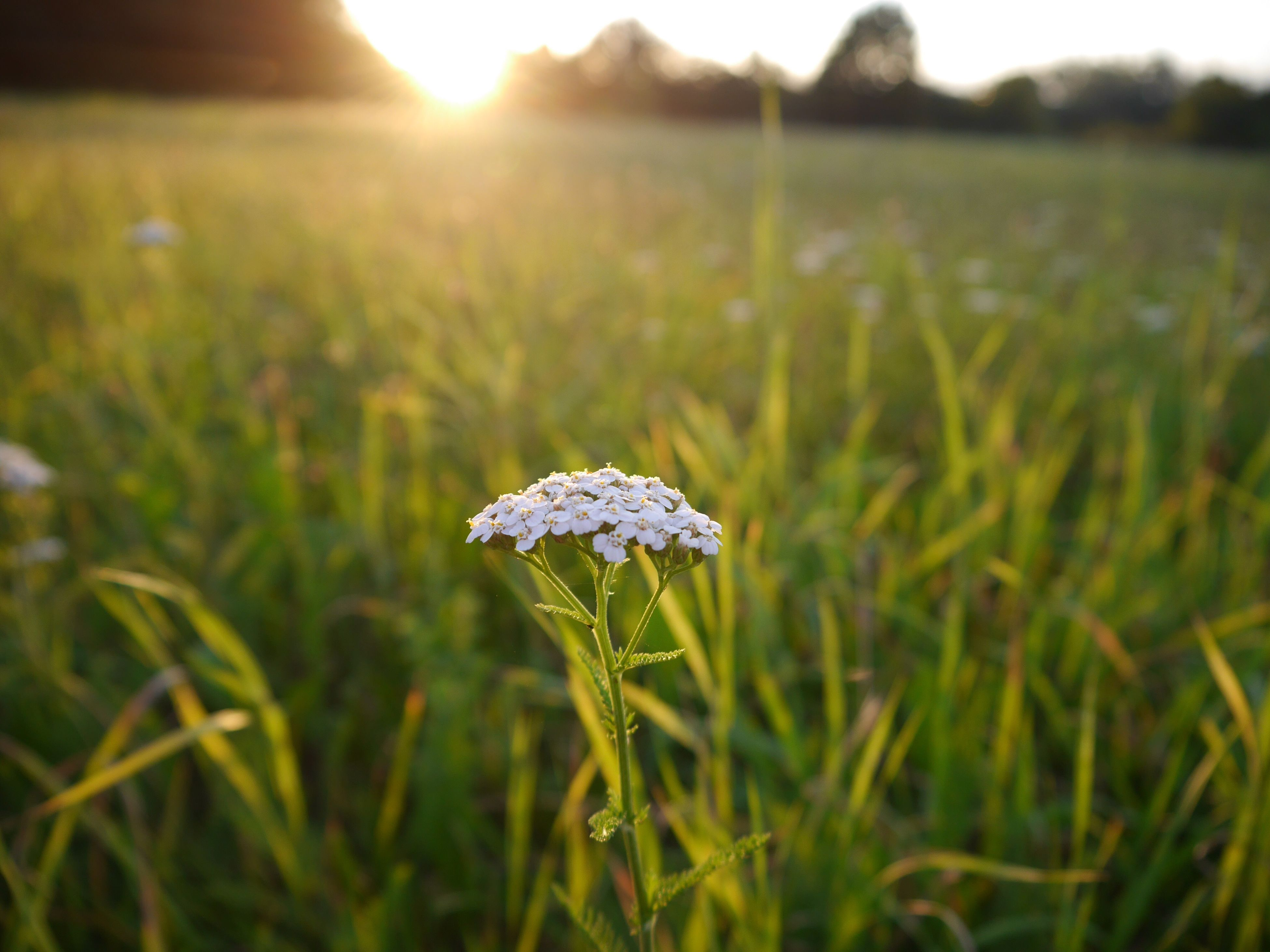 beauty in nature, growth, nature, freshness, fragility, flower, sunlight, plant, outdoors, no people, day, close-up, grass, flower head