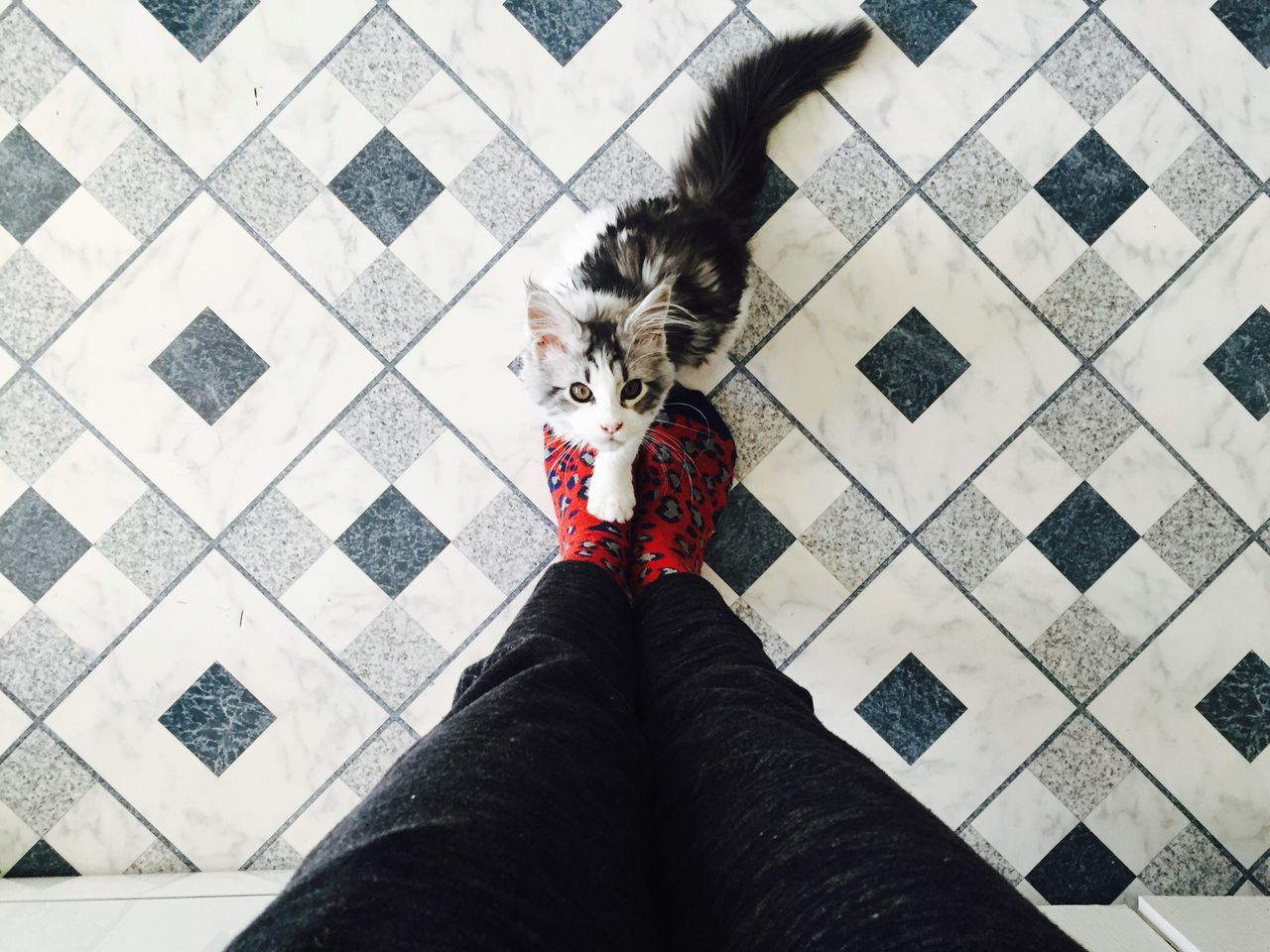 Pets Mainecoon Domestic Animals High Angle View One Animal Human Leg Personal Perspective Maine Coon Socks
