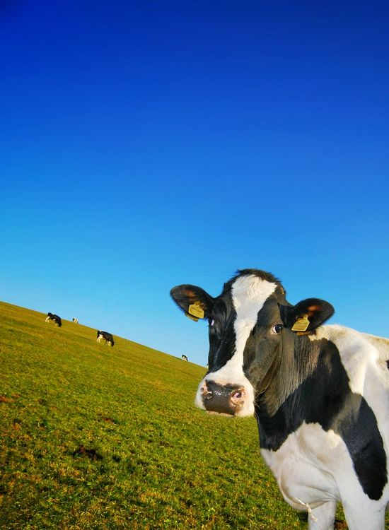 cow-riosity Cow Cows Cattle Agriculture Agricultural Land Pasture PastureLand Pasture, Paddock, Grassland, Pastureland Cows!!! Breeding Dairy Dairycows