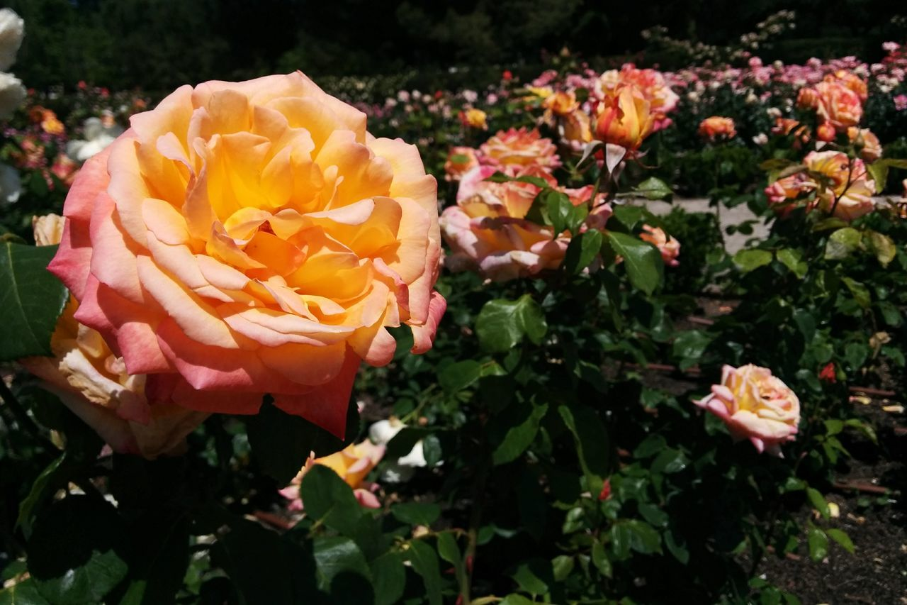 flower, petal, fragility, flower head, nature, freshness, beauty in nature, plant, growth, blooming, rose - flower, outdoors, no people, close-up, day