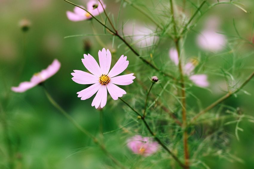 Pink Cosmos Flower Cosmos Flower Autumn Pink Flower Cosmos Flower Pink Flower 🌸 Nature Beauty In Nature Blooming Close-up Flower Head Pink And Green Local Station Chiba Japan Chiba,Japan October October 2016 Travel