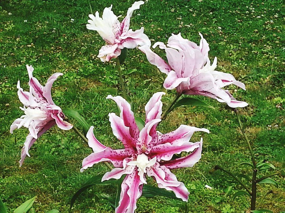 Pinkstargazerlilies Lily Stargazerlilies Flower Collection