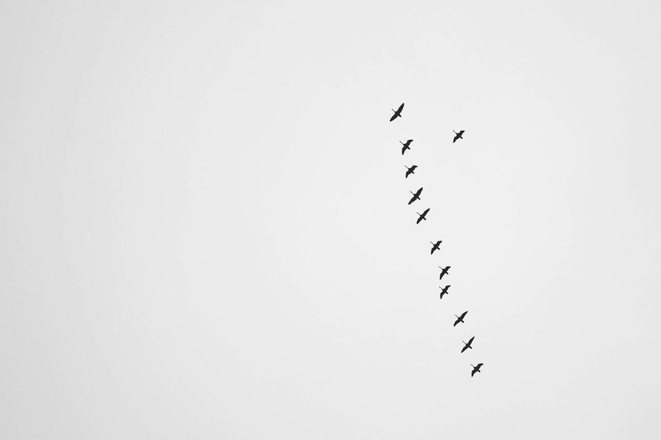 Geese flying in formation Geese Geese In Flight Ducks Formation Order Blackandwhite Nature Wildlife Flight Flying Lines Freedom Sky Birds Migration Family Team Wings Wingman Reliable West Solo Row Ducks In A Row Showcase: January