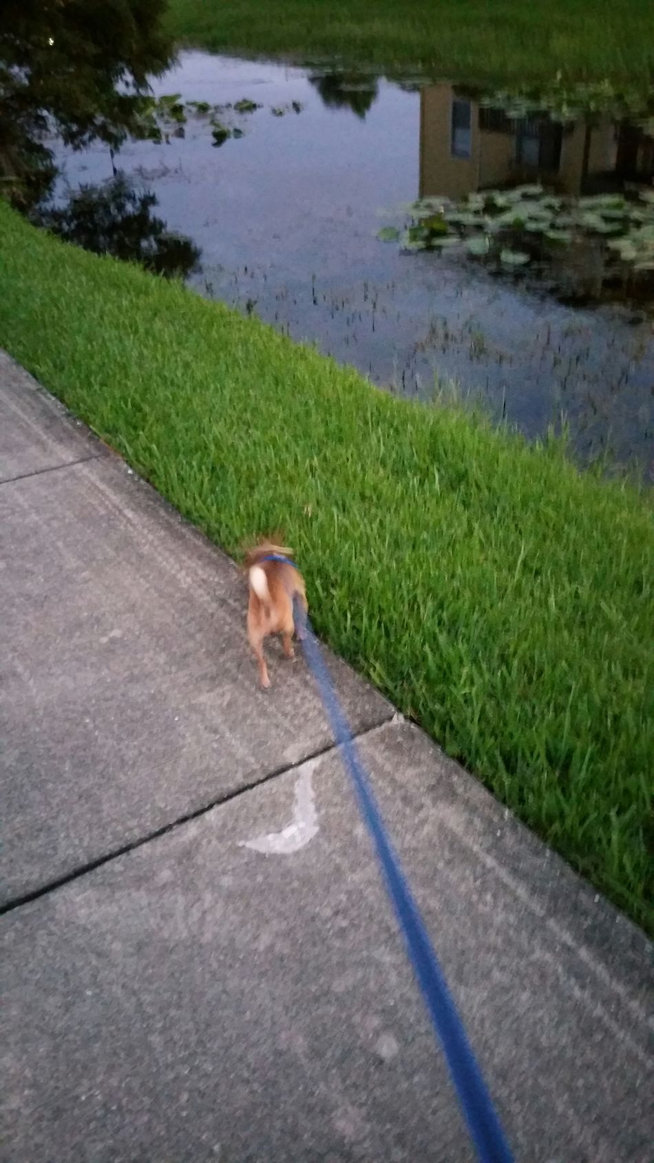 Check This Out I Love Czaba My Chihuahua So Much It Hurts Hello World Urban Lifestyle St.Petersburg Florida USA Walking Around Grieving The Loss Of A Parent I Miss My Mom. Peace Feeling Thankful to be alive