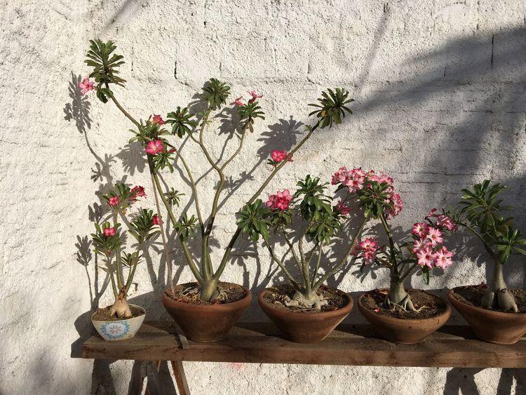 Flowers Flowers,Plants & Garden Desertflower