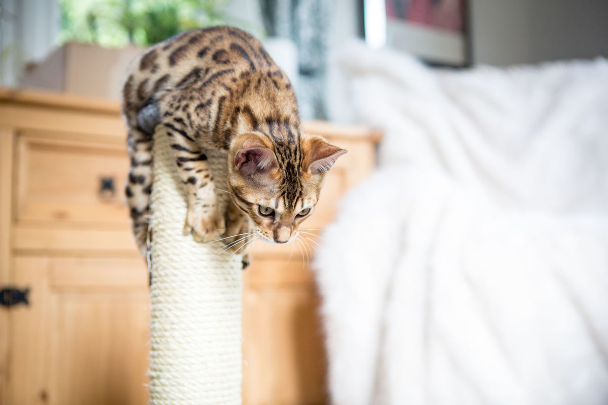 Animal Themes Bengal Bengal Cat Bengals Cat Cute Day Domestic Animals Domestic Cat Feline Focus On Foreground Indoors  Kitten Leopard Mammal No People One Animal Pets Spots Stripes Pattern Tabby Cat Tiger Yawning You