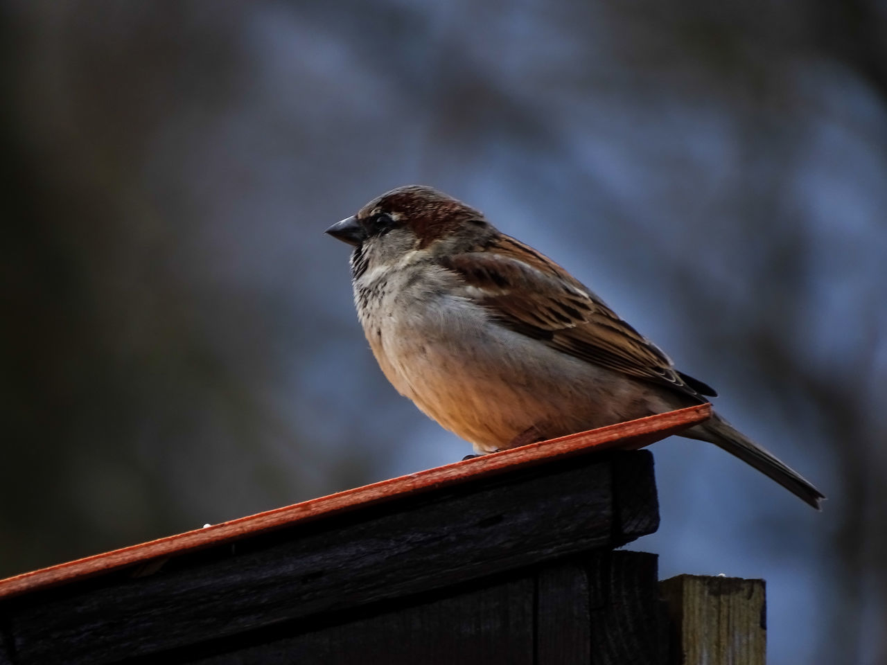bird, one animal, animals in the wild, animal themes, perching, animal wildlife, focus on foreground, no people, wood - material, nature, outdoors, day, close-up, robin, sparrow