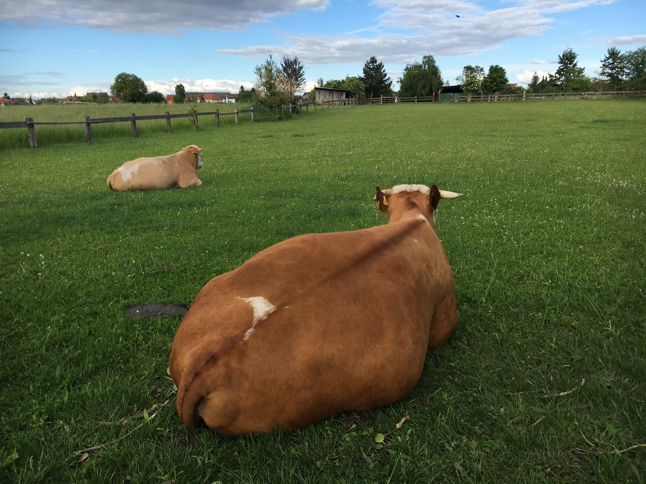 Grass Field Domestic Animals Mammal Livestock Green Color Animal Themes Cattle Cow Landscape Lying Down Nature Sky No People Day Tree Outdoors Cows Cow Cows In A Field Rind