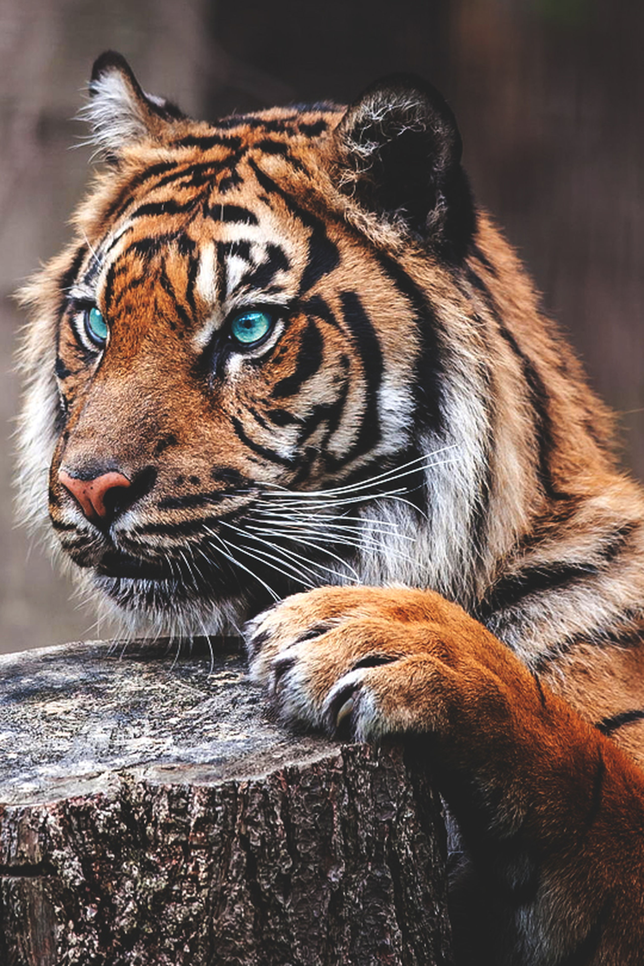 animal themes, one animal, mammal, animal head, close-up, animals in the wild, wildlife, tiger, focus on foreground, animal body part, animal markings, whisker, looking away, zoology, portrait, carnivora, no people, endangered species, outdoors, day