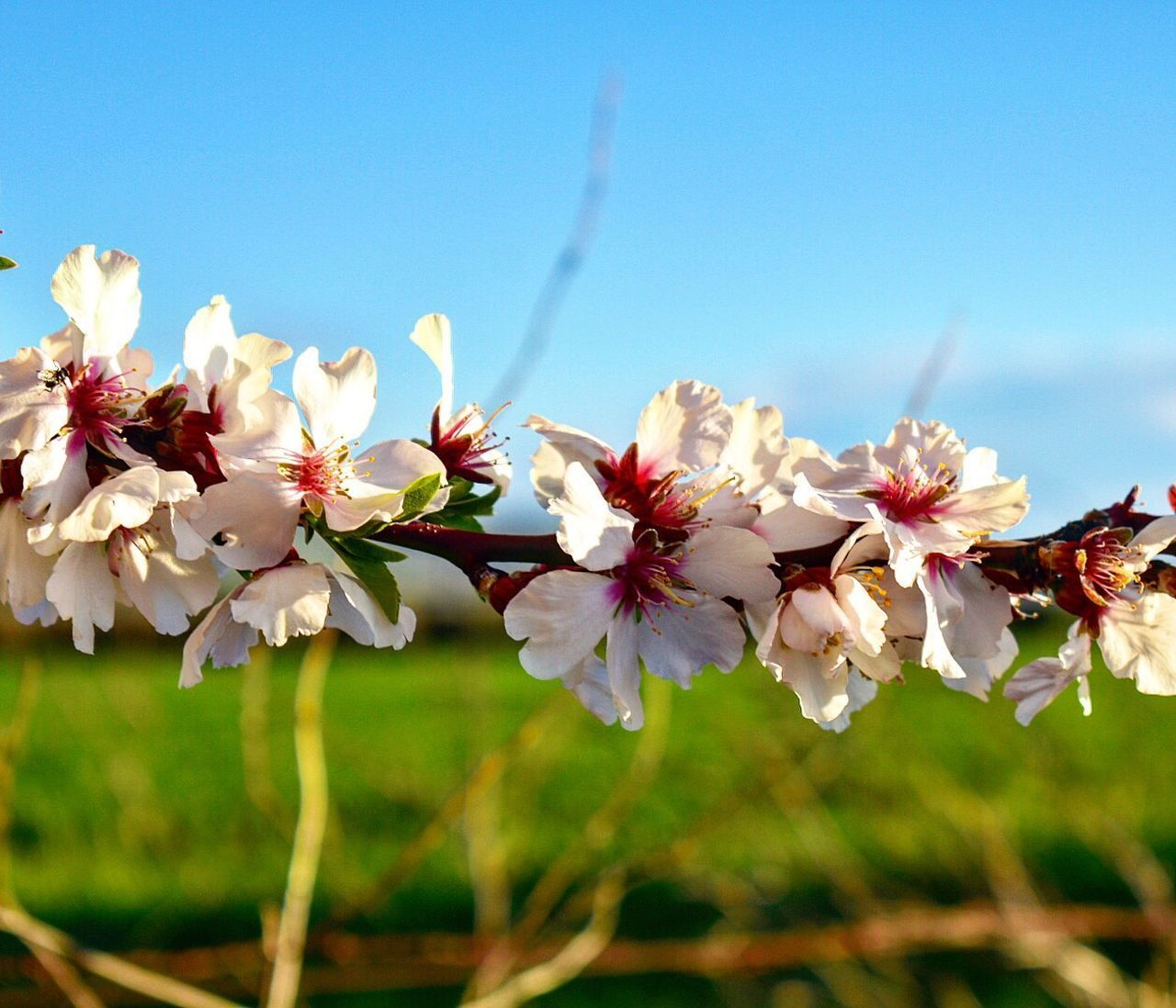 flower, fragility, beauty in nature, growth, nature, freshness, blossom, white color, botany, no people, tree, petal, springtime, apple blossom, day, close-up, flower head, outdoors, branch, blooming, sky