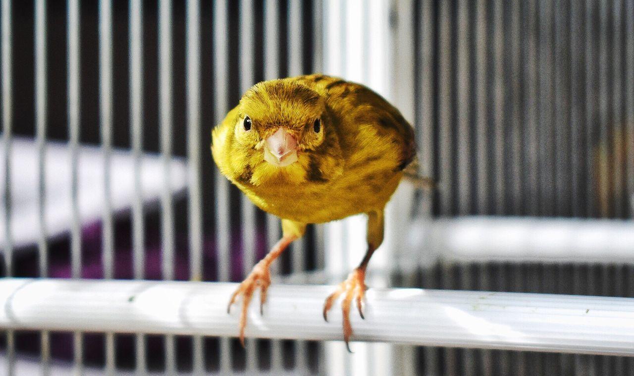 Face to Face... Animal Themes Canario Facetoface Areyouready Nopeople Birds Of EyeEm  Photobirds Canary Yellow Canary
