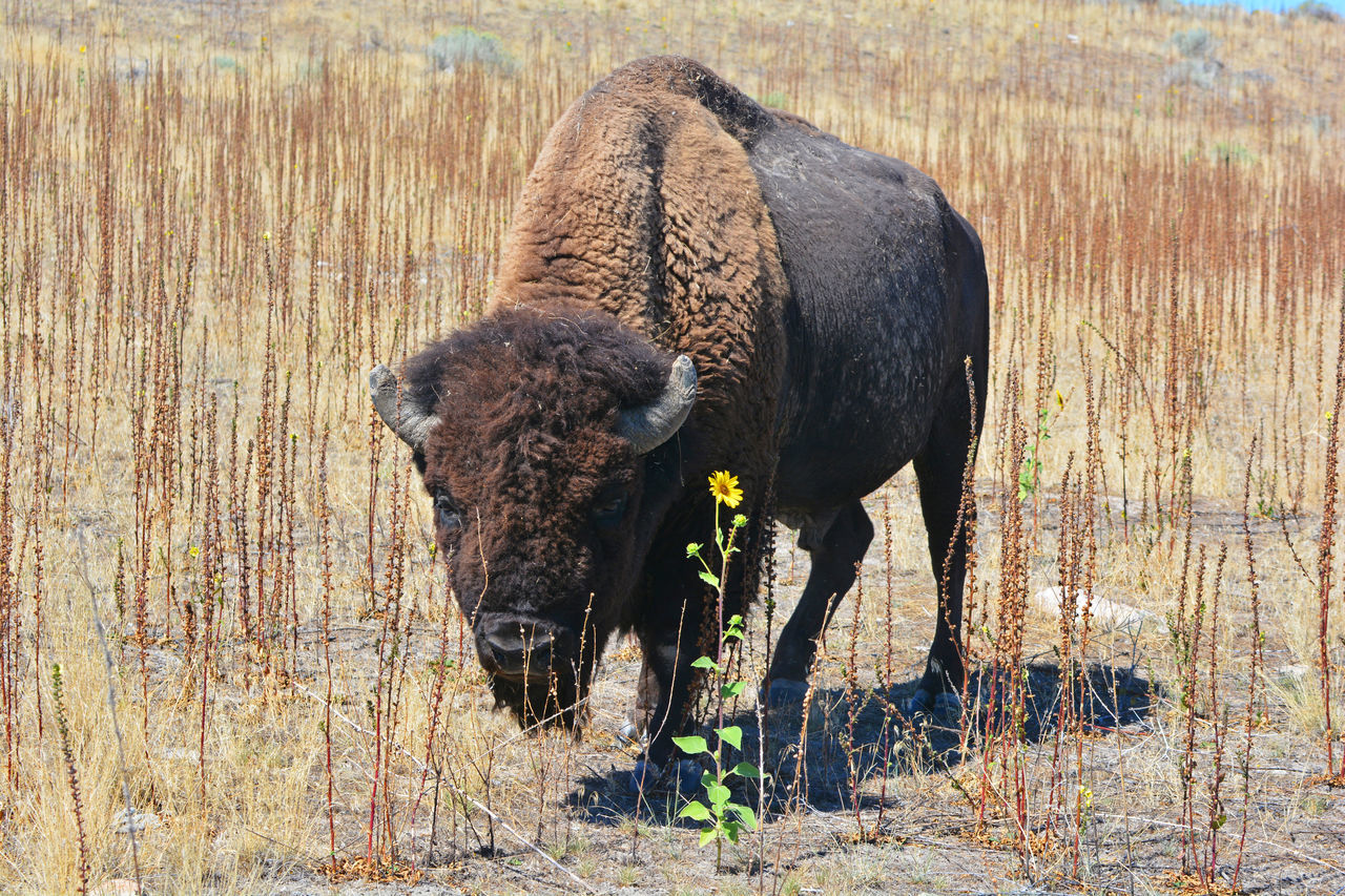 Animal Animal Themes Animals In The Wild Antelope Island Bison Buffalo Curiosity Domestic Animals Field Flower Grazing Mammal One Animal Relaxation Standing Sunflower Yellow Flower Zoology
