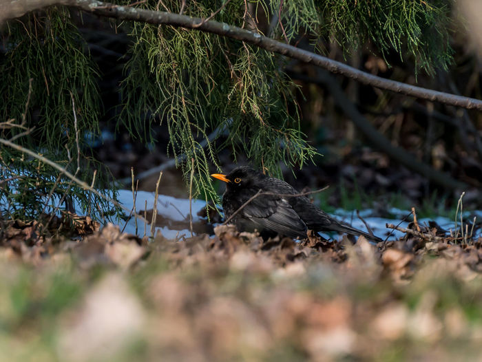 Blackbird under the tree. Animal Themes Animal Wildlife Animals In The Wild Bird Blackbird Blackbird In Tree Blackbirds Day Nature No People One Animal Outdoors Perching Tree