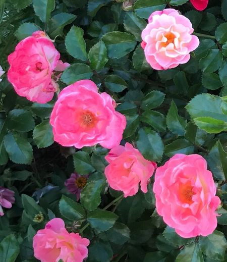Flower Pink Color Growth Petal Beauty In Nature Fragility Flower Head Blooming Rose - Flower Freshness