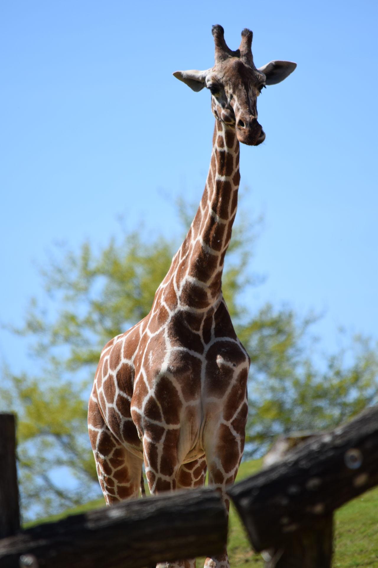 giraffe Animal Themes Animal Wildlife Animals In The Wild Clear Sky Close-up Day Giraffe Mammal Nature No People One Animal Outdoors Safari Animals Sky Standing Tree