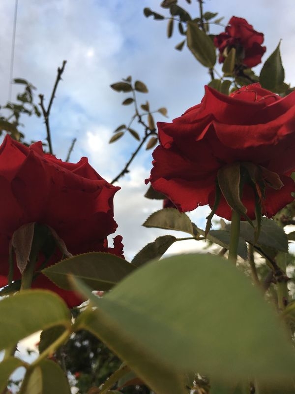 Flower Red Nature Growth Fragility Beauty In Nature Petal Close-up Freshness Flower Head No People Springtime Blossom Day Outdoors Sky Plant Blooming Pollen Pistil Rose🌹 Roses