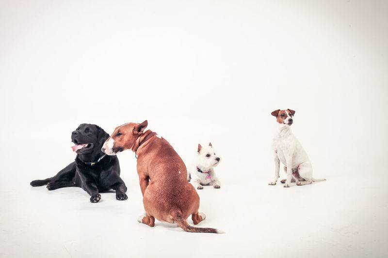pet friends Adorable Animal Animal Themes Bullterrier Cute Dogs Domestic Animals Friends Friendship Funny Jack Russell Labrador Lovely No People Pet Photography  Pets Studio Shot Togetherness West Highland White Terrier Westie