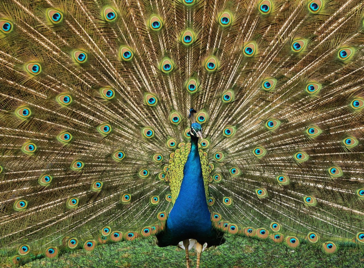 peacock, bird, peacock feather, one animal, animal themes, fanned out, animal wildlife, feather, animals in the wild, day, outdoors, no people, nature, beauty in nature, close-up