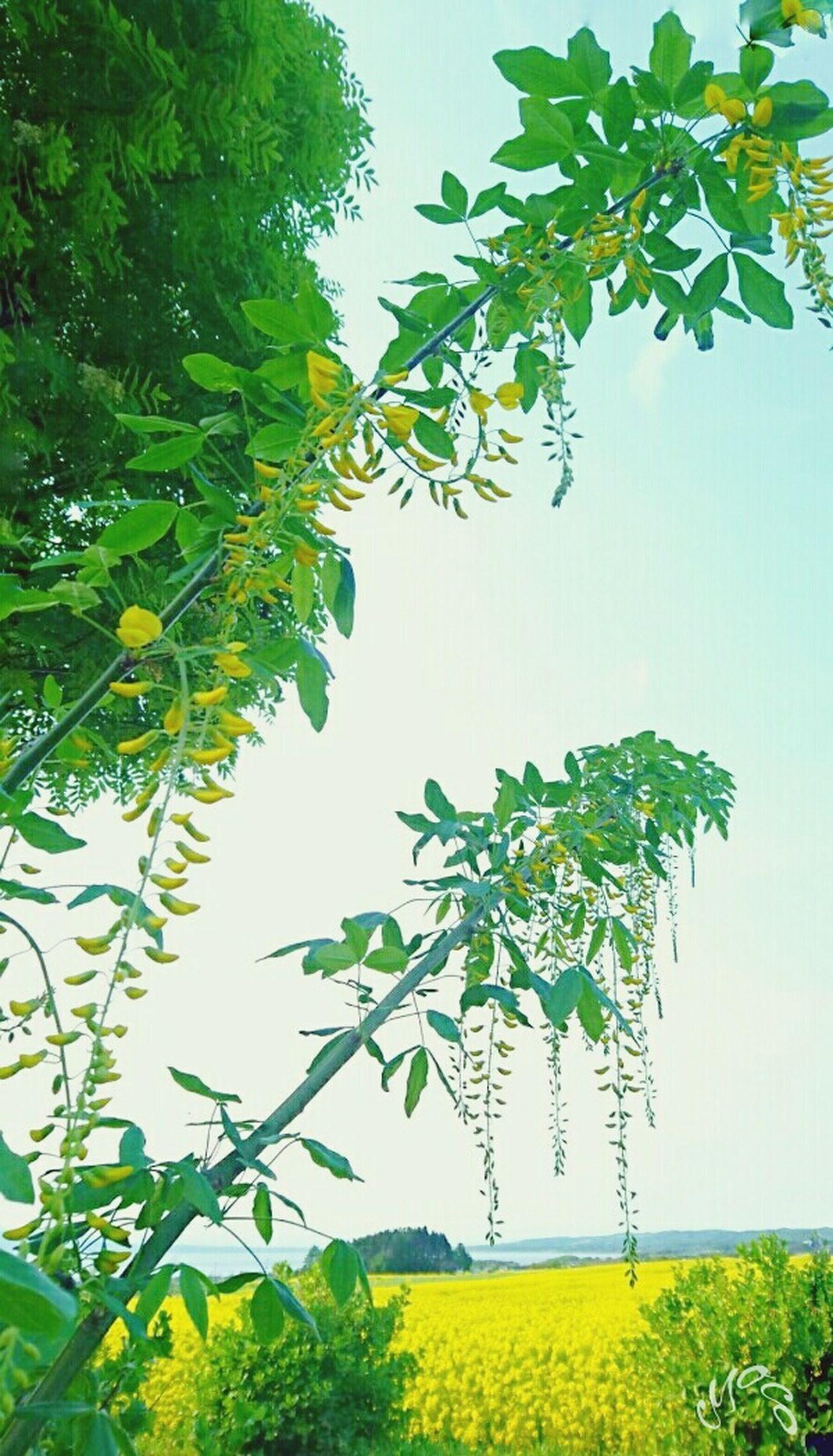 菜の花 菜の花畑 黄色い花 海 地元の海 安らぎのひととき Flower Of Canola Flower Yellow Flowers Sky Mother Nature Ultimate Japan Nature Photography Green Sea Marine Sky Of Japan EyeEm Best Shots EyeEm Nature Lover EyeEm Gallery Eyeem Photography Japan Spring Flowers Healing Time Spring