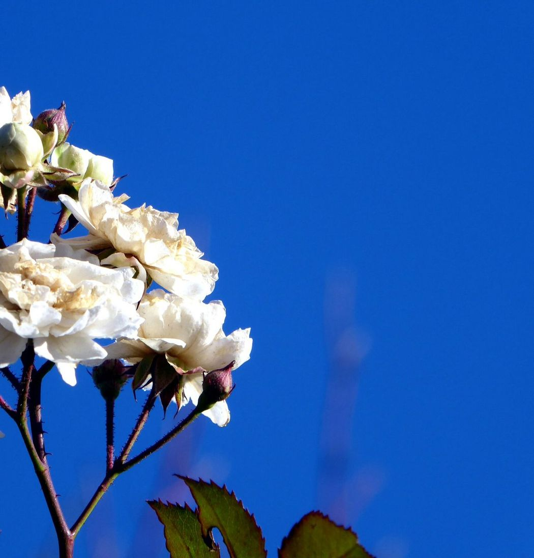White Flowers Blossom Fragility Flower Head Close-up A Sight That Warms My Heart At Frosty Temperatures Tranquil Scene Cold Temperature Beauty Of Life  Beauty In Nature Colors Are My Life😍 For My Friends 😍😘🎁 Beauty Of Evanscence Blue Sky Clear Sky