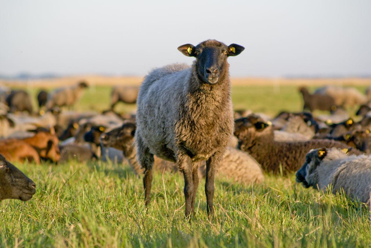 Beautiful stock photos of meadow, , Animal, Domestic, Environment