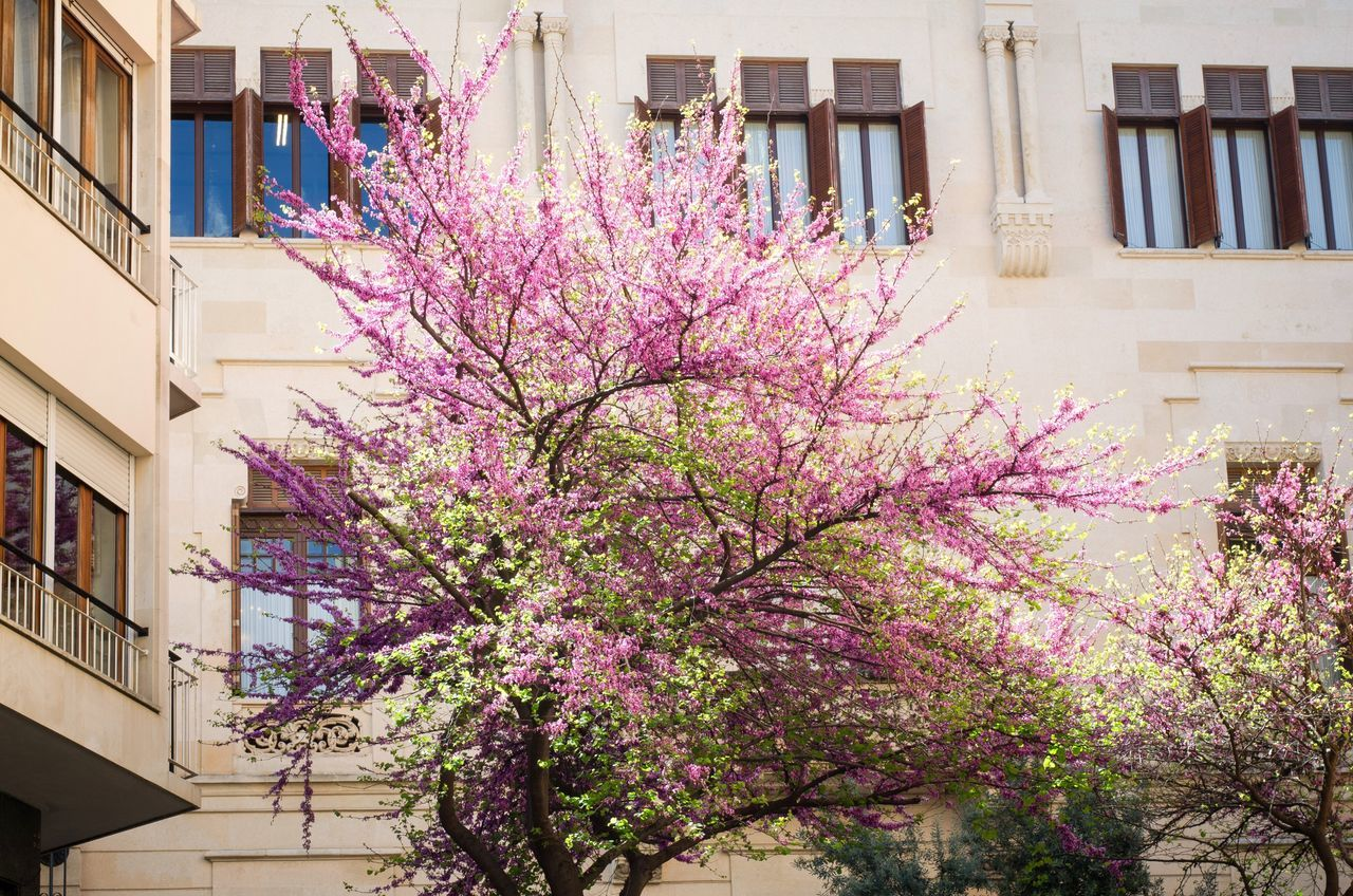 flower, building exterior, architecture, built structure, blossom, springtime, tree, growth, fragility, pink color, branch, no people, day, outdoors, nature, low angle view, beauty in nature, freshness, blooming, city