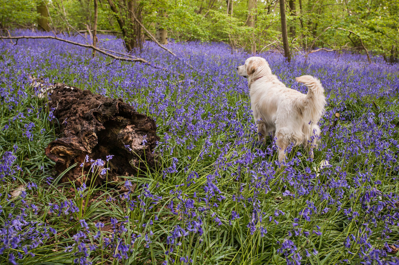 'Amber' the Golden Retriever amongst the bluebells at St Vincent's wood, Freeland. Golden Retriever Tree Trunk Wood Alertness Animal Themes Bluebells Bluebells Field Day Decaying Tree Decaying Tree Stump Dog Domestic Animals Flower Freeland Golden Retriever No People One Animal Oxfordshire Pets Plant Retriever Spring Spring Time Tail Up Woods