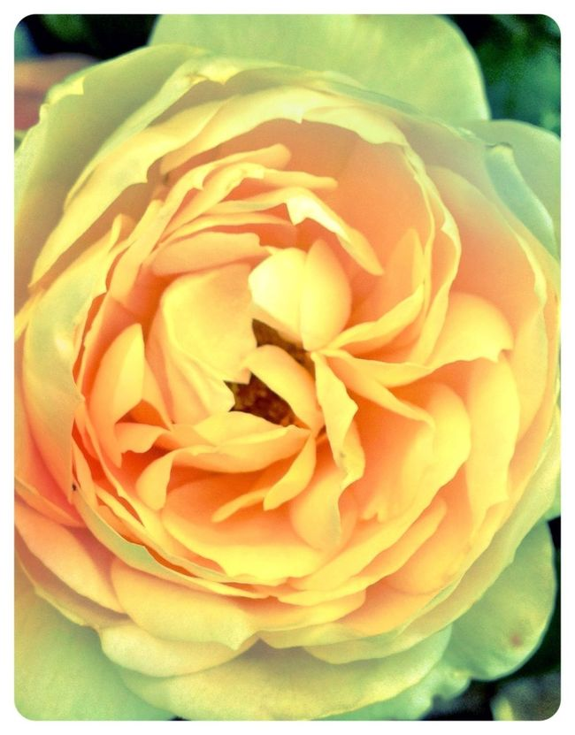 apricot dream Great Outdoors Flowers Nature