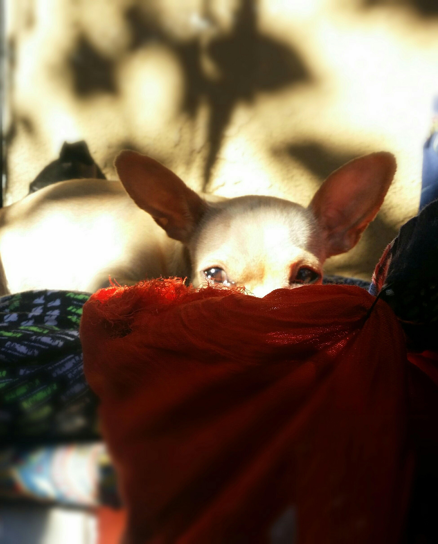 Chihuahua Hello World Doggies Chihuahualovers Peanut Mommytobe Puppy Love Animallovers Cutepics Cutestdoggies ILoveHer❤ Perfect Chihuahua