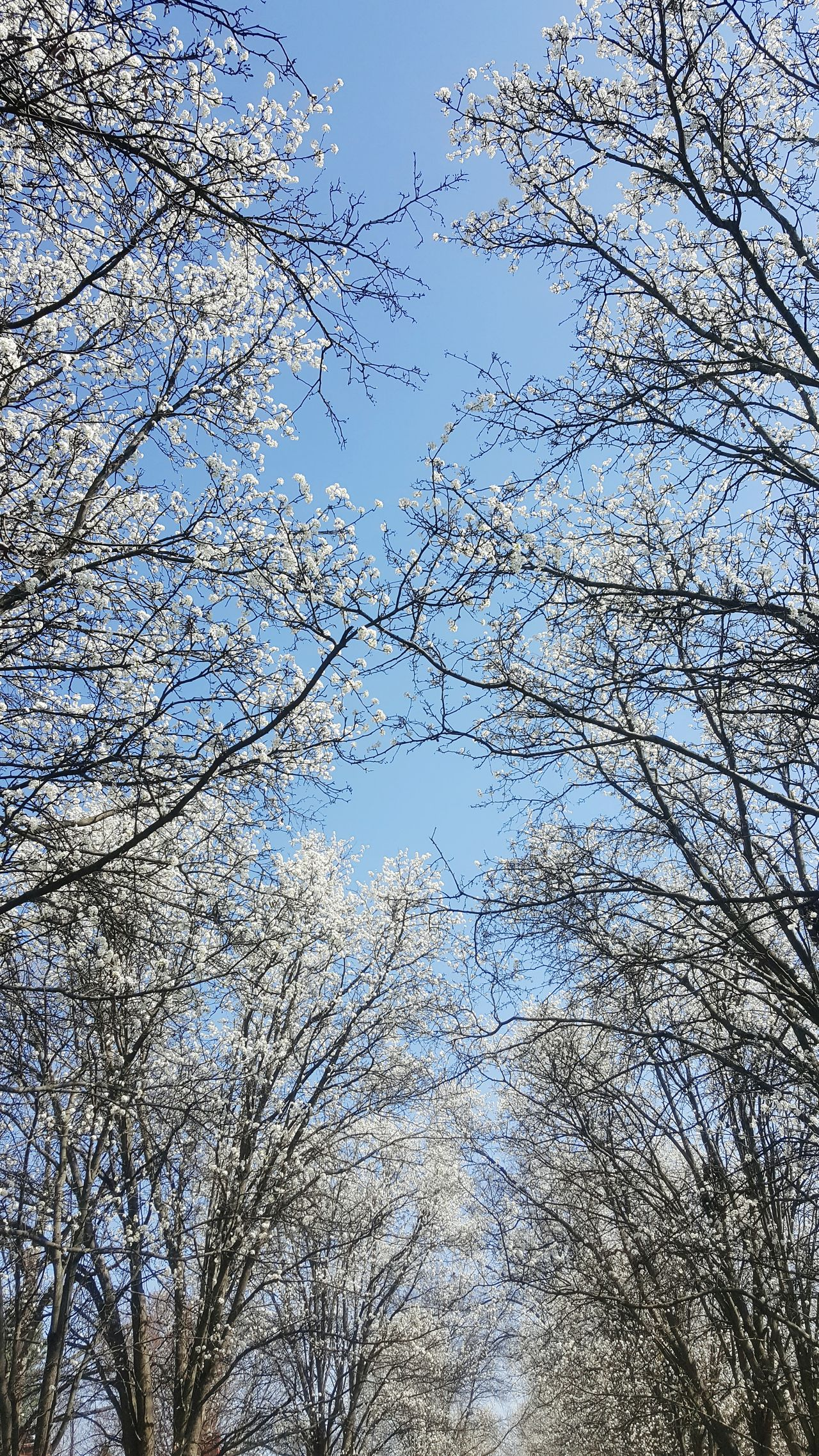 Spring Nature Beauty In Nature Blue Sky White Blooms Trees Row Of Trees Flowering Trees White Blue White And Blue Abundance Blossoms  Springtime Low Angle View Spring Day Daylight Bright Sun Sunlight Branches Tree Branches And Sky Tranquility