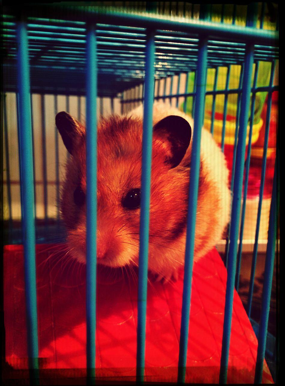 Ninguem deixa ela dormir. Hamster