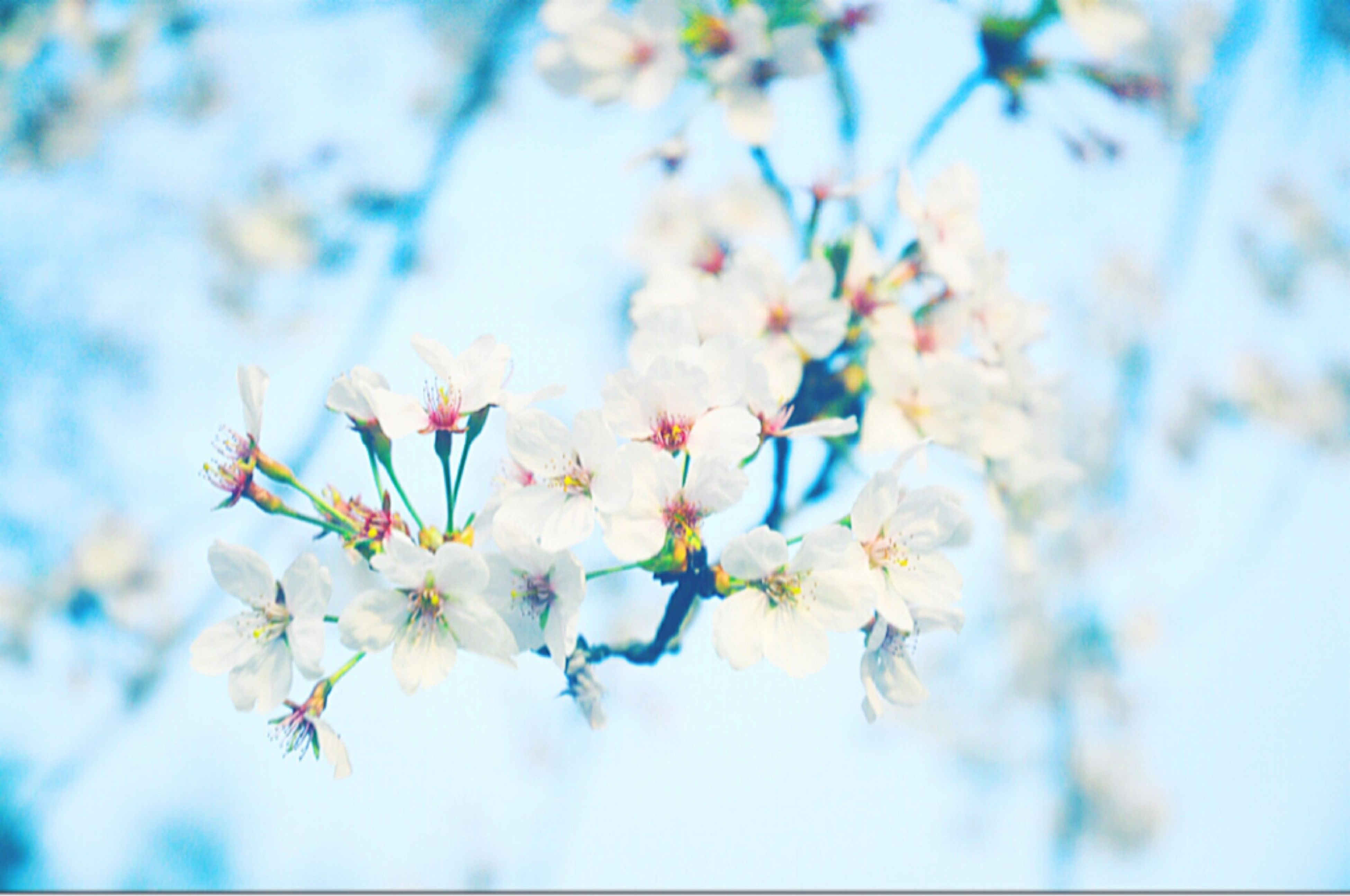 flower, freshness, fragility, growth, cherry blossom, beauty in nature, focus on foreground, petal, branch, tree, white color, nature, blossom, close-up, blooming, in bloom, selective focus, cherry tree, springtime, day