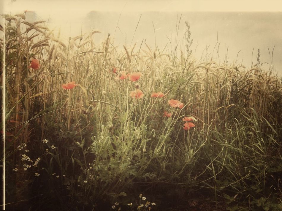 Poppies Eyem Nature Lovers  Eyem Best Shots Eyem Best Edits