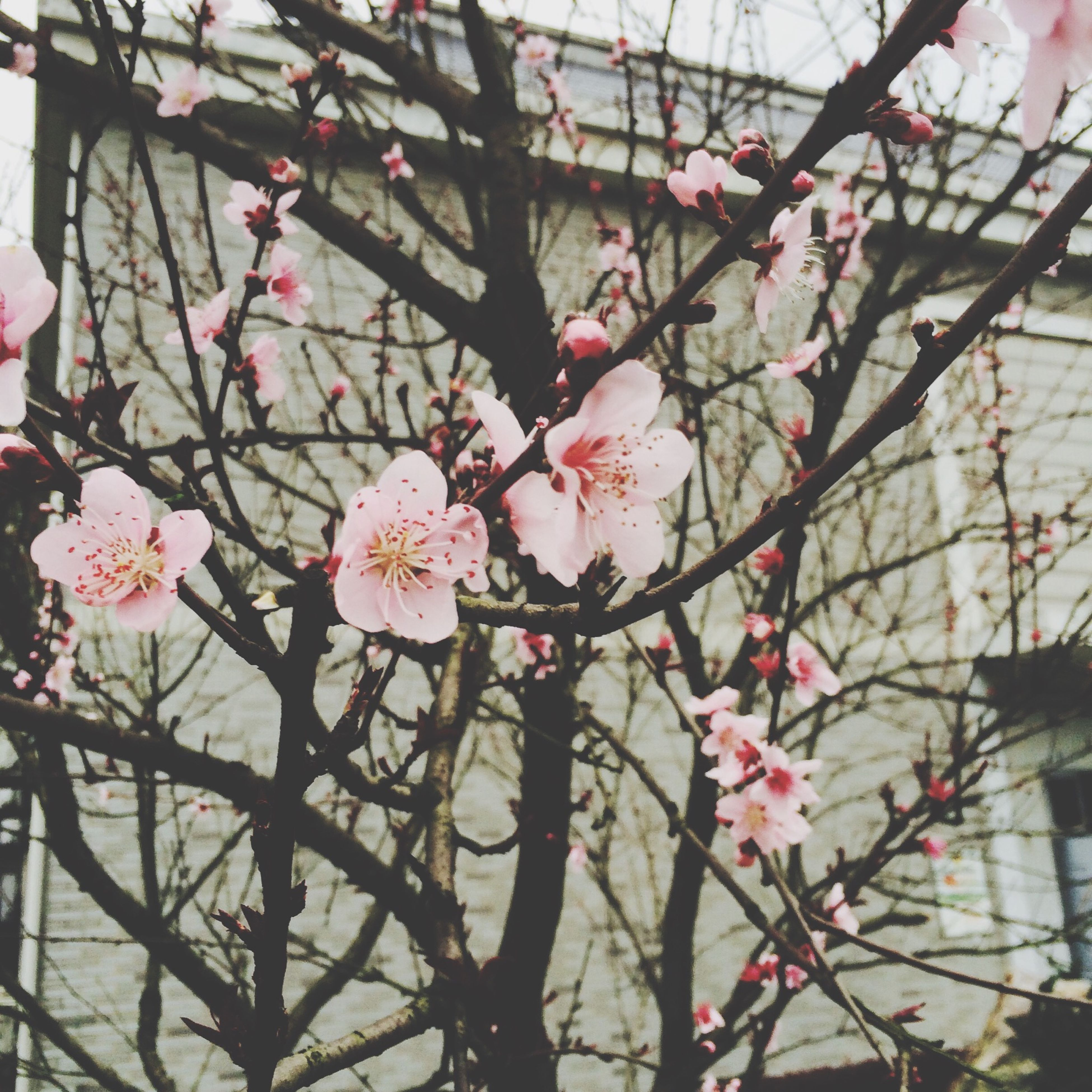 flower, branch, freshness, fragility, tree, growth, low angle view, blossom, pink color, cherry blossom, nature, beauty in nature, cherry tree, petal, in bloom, blooming, twig, springtime, built structure, fruit tree