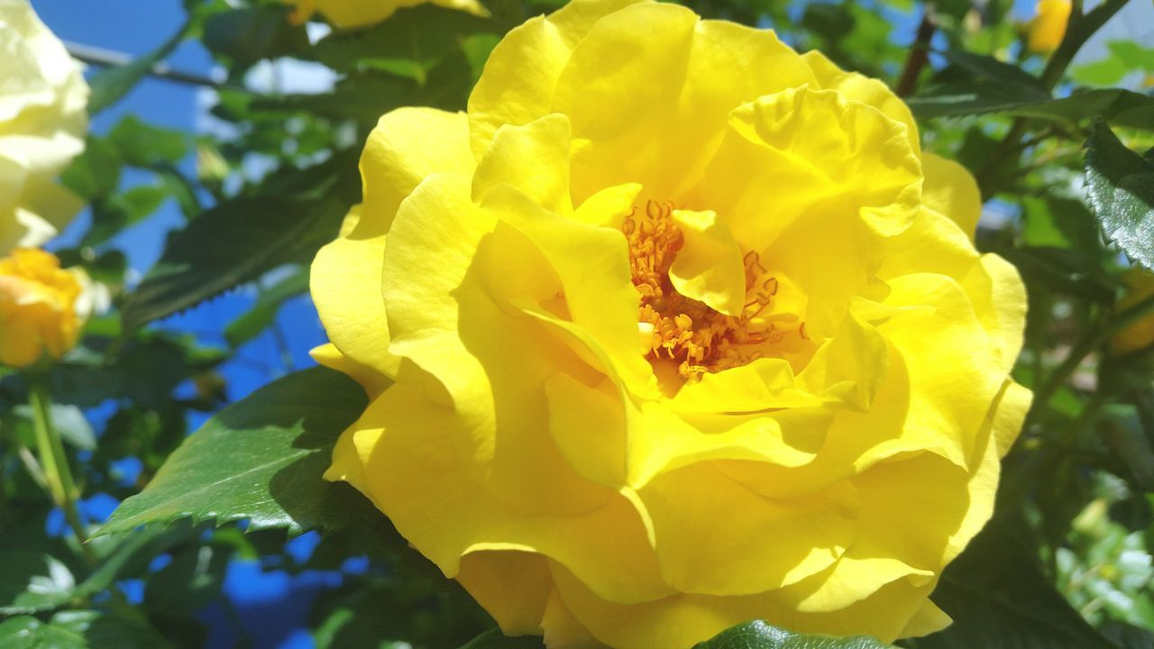 Flower Yellow Nature Beauty In Nature Petal Growth Close-up Fragility Plant Leaf Outdoors Flower Head Freshness No People Day Flowers Roses🌹 Rose🌹 Roses Flowers  Roses Flowers  Beauty In Nature Freshness Nature Rose - Flower Roses Flowers