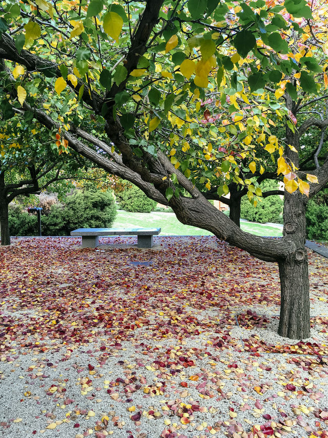 Manchurian Pear trees in autumn Abundance Autumn Beauty In Nature Change Day Fallen Falling Green Color Growing Growth Leaf Leaves Nature No People Outdoors Park Plant Scenics Season  Tranquil Scene Tranquility Tree Tree Trunk