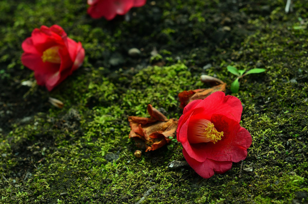 camellia Beauty In Nature Camellia Camellia Japonica Copy Space Dead Flowers Fallen Fallen Flowers Flower Flower Head Fragility Green Color Japan Life Life And Death In Nature Moss Nature No People Outdoors Petal Plant Red Tranquility Wabi-sabi Zen The Great Outdoors - 2017 EyeEm Awards