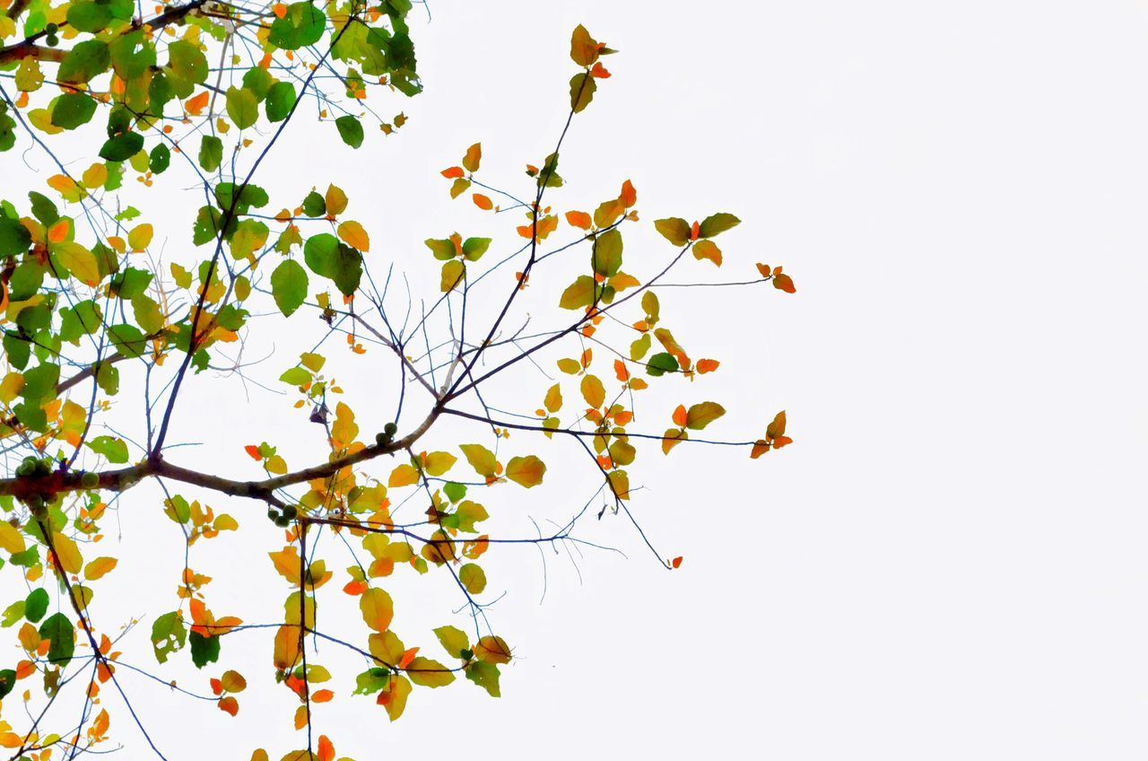 Branch Nature No People Clear Sky Low Angle View Growth Yellow Leaf Tree Springtime Sky Close-up Beauty In Nature Day Fragility Outdoors Flower White Background Freshness